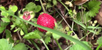 foraging-wild-strawberry