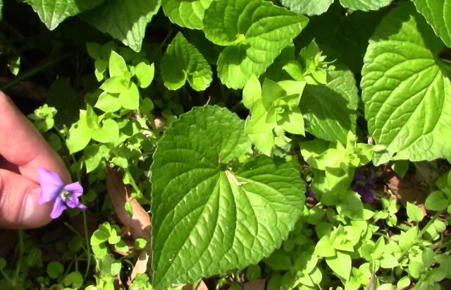 foraging-wild-violets